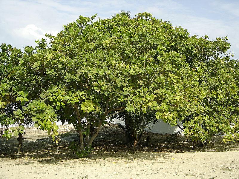 cashew_brazil_tree
